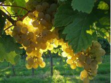 1 Alles über Sauvignon Blanc... 31.07.2020